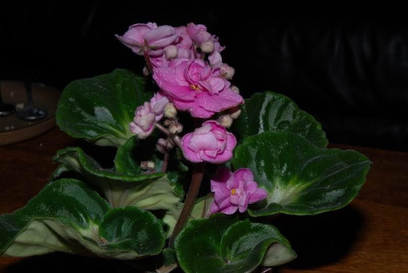 African Violet Rose Anthoflores